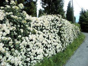 Biancospino