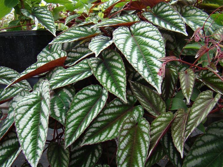 Cissus - pianta a cascata migliore