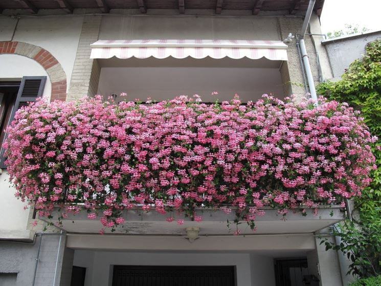 Gerani parigini - migliori piante a cascata per balconi
