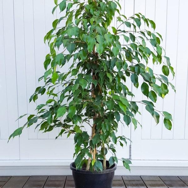 arredare con le piante ficus-benjamina